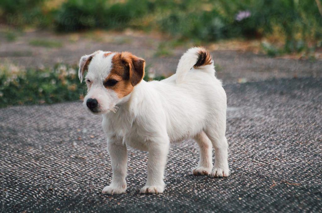 jack-russel-terrier-pic2