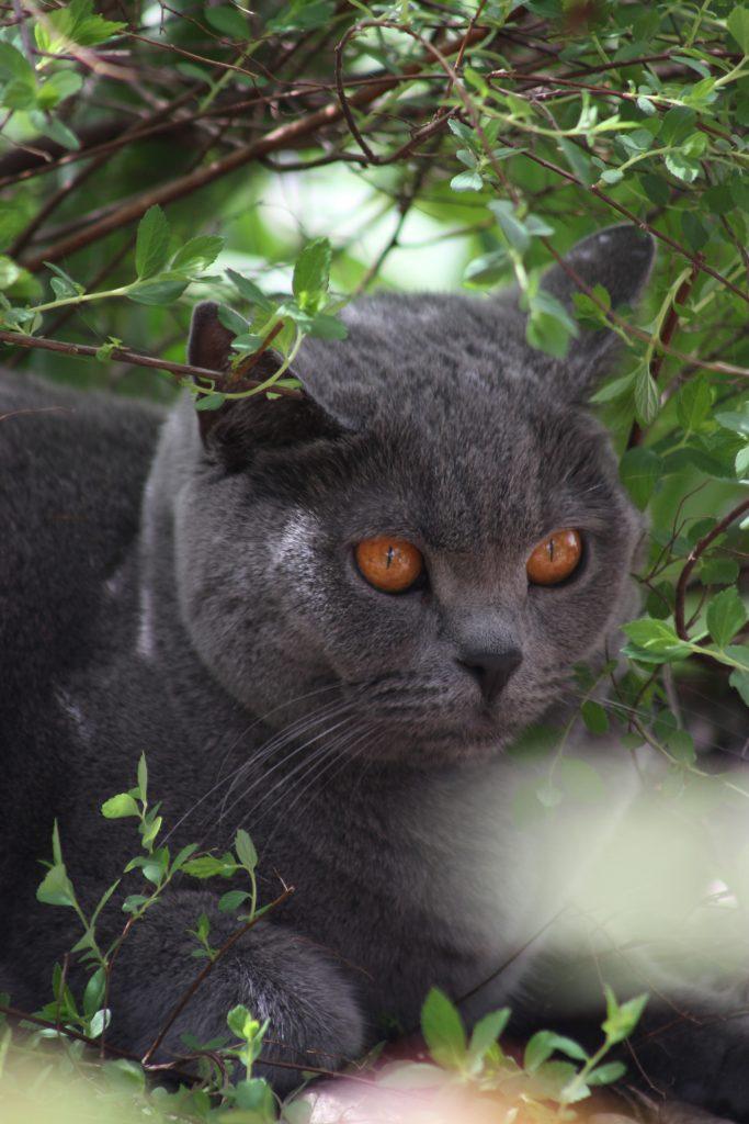 karthauzi-macska-pic3