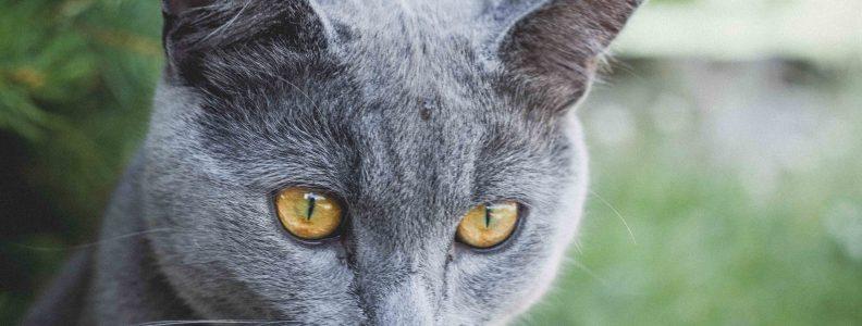 karthauzi-macska-pic2
